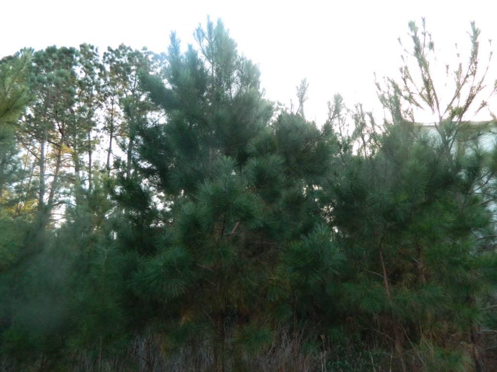evergreen tree on winter nature scavenger hunt