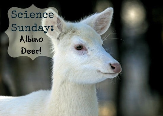 Science Sunday: Albino Deer!