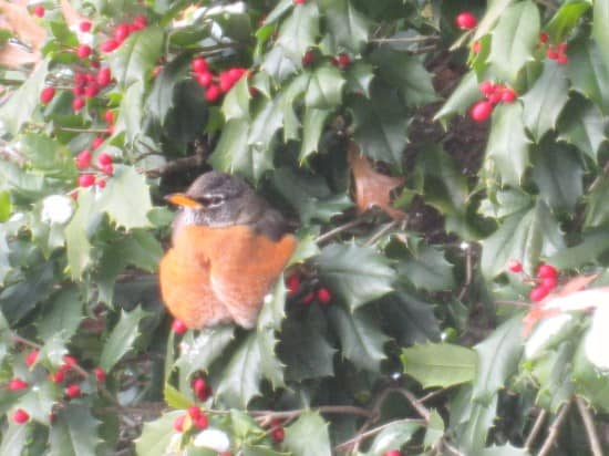 I Spy Friday: Holly Berries and the Animals that Eat Them