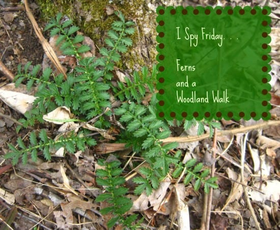 I Spy Friday…Woods walk for ferns