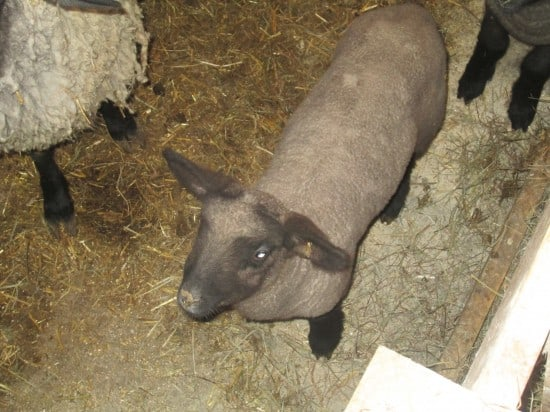 triplet baby lamb