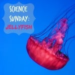 Science Sunday: Jellyfish